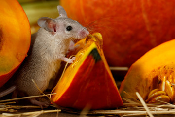 Close-up mouse stands  on its hind legs near piece of red pumpkin on wooden floor in storehouse. Small DoF focus put only to mouse head.