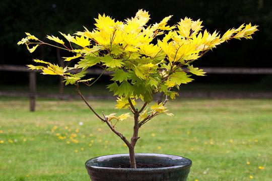 Small Acer Shurasawanum Aureum Tree in a flower pot