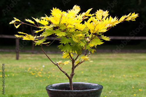 Small Acer Shurasawanum Aureum Tree In A Flower Pot Stock Photo And