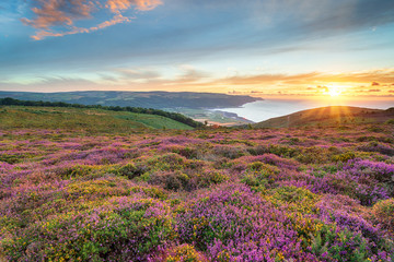 Heather at Bossington in Somerset