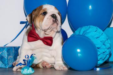 Cute puppy of English Bulldog