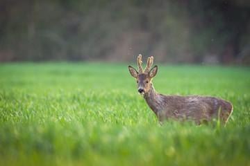 Wall Mural - deer in a field
