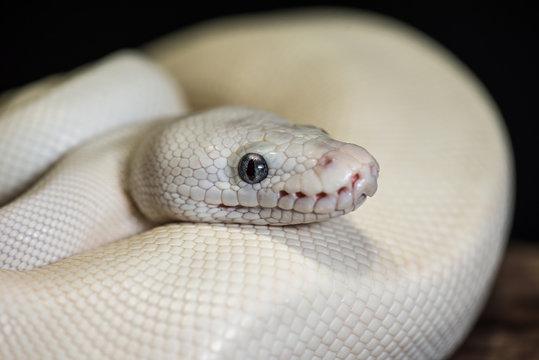 White snake close up