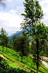 The slopes of tea plantations. Nuwara Eliya. Sri Lanka. Asia.