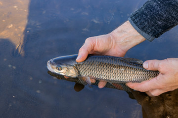 Chub (Squalius cephalus) in the hand of fisherman.Catch and release