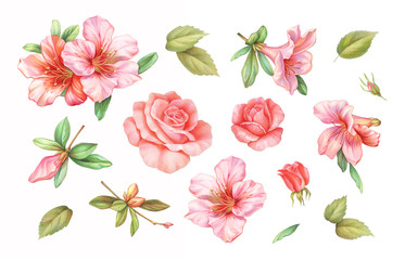 Pink white rose vintage azalea lily flowers set isolated on white background. Watercolor colored  pencil  illustration.