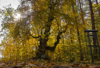 Old tree in yellow autumn forest with sun backlight