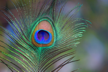 A portrait of a natural peacock feather