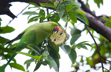A Parrot eating the fruit from the tree