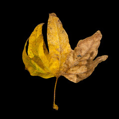 golden maple leaves isolated on black background