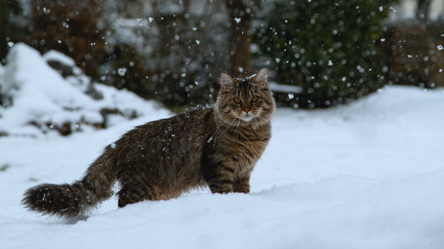 CLOSE UP: Adorable kitty with long brown fur standing in the snowy backyard.