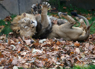 Bhanu, an Asiatic lion, rolls in leaves scented with cardamom, cinnamon and clove in his enclosure at London Zoo, London