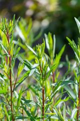 Tarragon or estragon green plant, culinary and medicinal plant