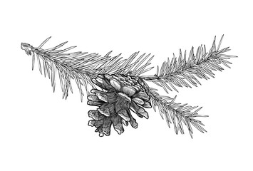 Obraz Hand drawn Fir tree branch with cone isolated on white background. - fototapety do salonu
