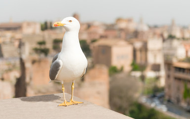 Fotomurales - Closeup of a seagull with central Rome as background, Italy