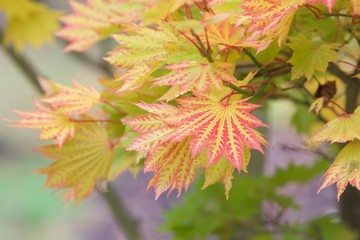 klon palmowy Bihou-Acer palmatum Bihou