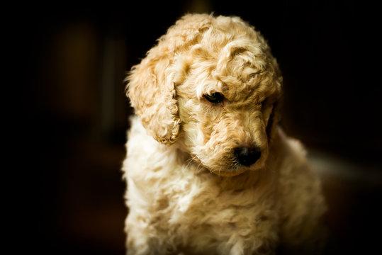Cute little labradoodle puppy portrait indoors