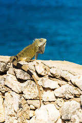 Iguana basks in the sun in Playa Lagun, Curacao, Netherlands. With selective focus. Vertical.