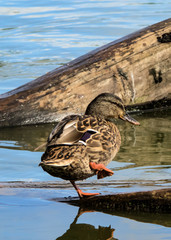 Mallard on One Foot
