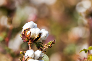 COTTON PLANT FLOWER CLOSE UP ON A WILD FIELD