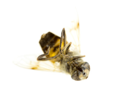a dead bee on a white background