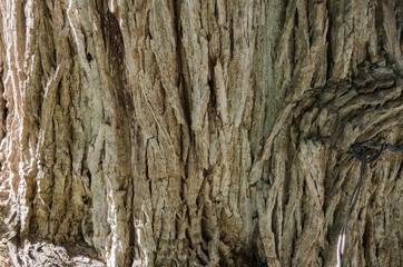 bark of tree, close up to the trunk of a tree.