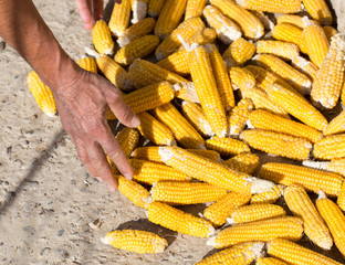 corn to dry and the hand of man
