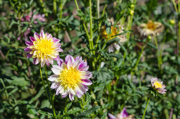 Pink flowers blooming on green background. Autumn Chrysanthemum.