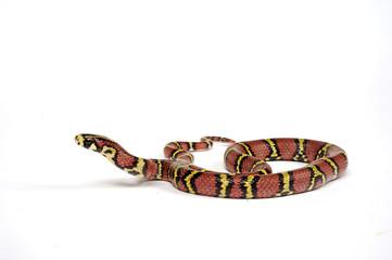 Burma-Kletternatter (Archelaphe bella chapaensis) - Burmese Rat Snake