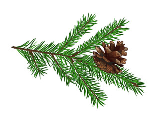 Fir tree branch with cone isolated on white background.