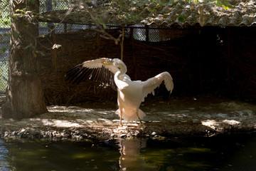 pelican bird in the zoo