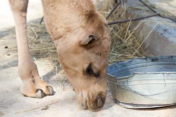 foot camel
