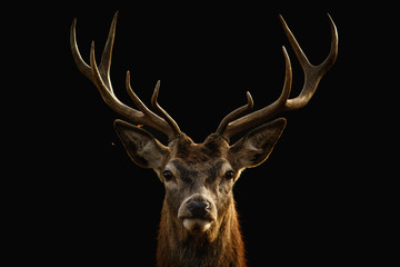 Poster Deer Red deer portrait with black background..