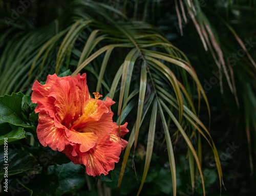 Close Up Of Beautiful Orange And Yellow Hibiscus Flower Blossom In