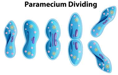 Paramecium Dividing bacteria diagram