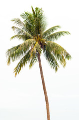 Single coconut tree isolated on white background.