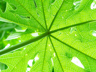 Papaya tree plant growing nature view from under.