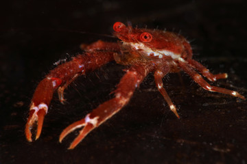 Squat lobster  (Galathea balssi). Picture was taken in Lembeh strait, Indonesia