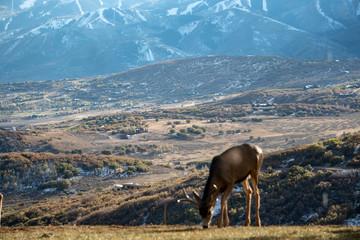 Deer Utah Mountains