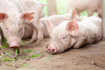 The pig has just been newborn on a farm.
