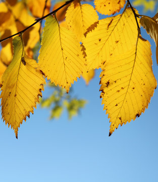 Yellow leaves of elm against a blue sky in autumn