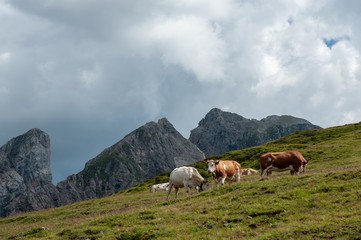 A group of Swiss red white cows, grazing in a meadow in the Italian Dolomites. The Dolomites are part of the Italian Alps, seen here on a summer afternoon. Image taken near the Giau Pass