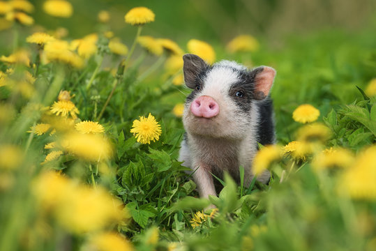 Mini pig walking on the field with dandelions