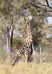 Single adult giraffe in the Kalahari