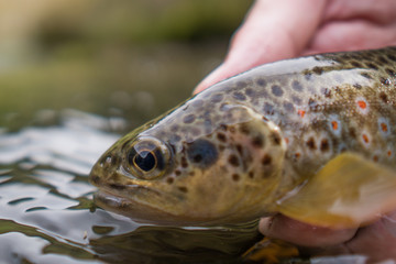 Brown trout (Salmo Trutta Fario) with wonderful pattern with red dots and yellow belly caught while fly fishing in a small creek high in the Swiss Alps on the dry fly