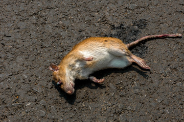 Dead rat, on the floor or the street. or human act.