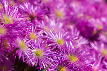 Delosperma (Ice Plant) Succulent like plant with bright purple flowers with thin leaves.