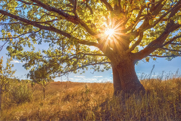 Oak tree in autumn in a field with the sun in the branches