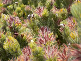 Hairy South African fynbos plant closeup.