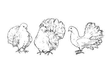 White pigeons set, hand drawn doodle, sketch outline, vector illustration